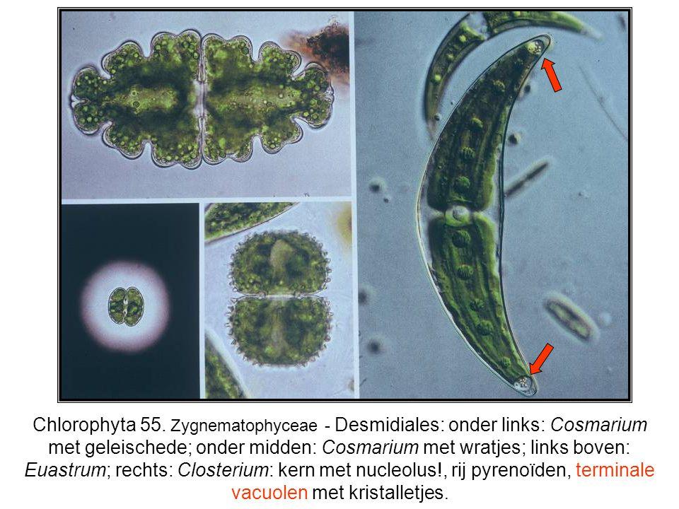 Chlorophyta 55. Zygnematophyceae - Desmidiales: onder links: Cosmarium met geleischede; onder midden: Cosmarium met wratjes; links boven: Euastrum; re
