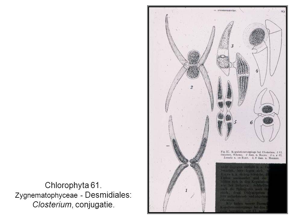 Chlorophyta 61. Zygnematophyceae - Desmidiales: Closterium, conjugatie.