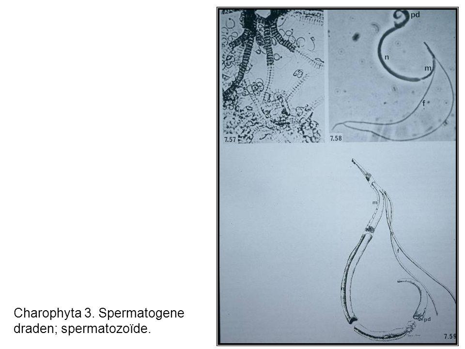 Charophyta 3. Spermatogene draden; spermatozoïde.