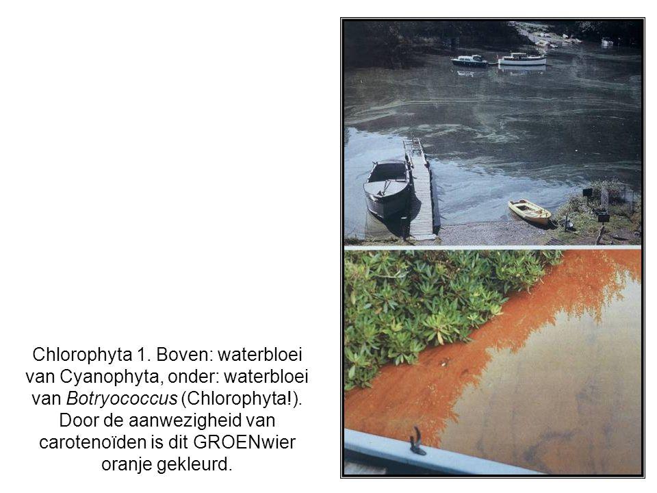 Chlorophyta 1.Boven: waterbloei van Cyanophyta, onder: waterbloei van Botryococcus (Chlorophyta!).