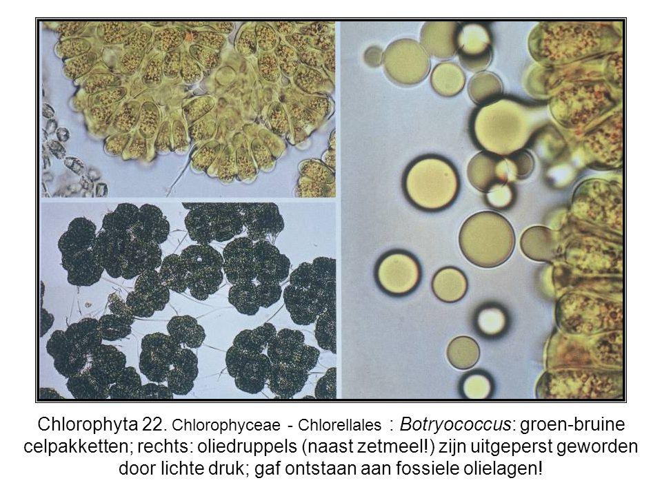 Chlorophyta 22. Chlorophyceae - Chlorellales : Botryococcus: groen-bruine celpakketten; rechts: oliedruppels (naast zetmeel!) zijn uitgeperst geworden