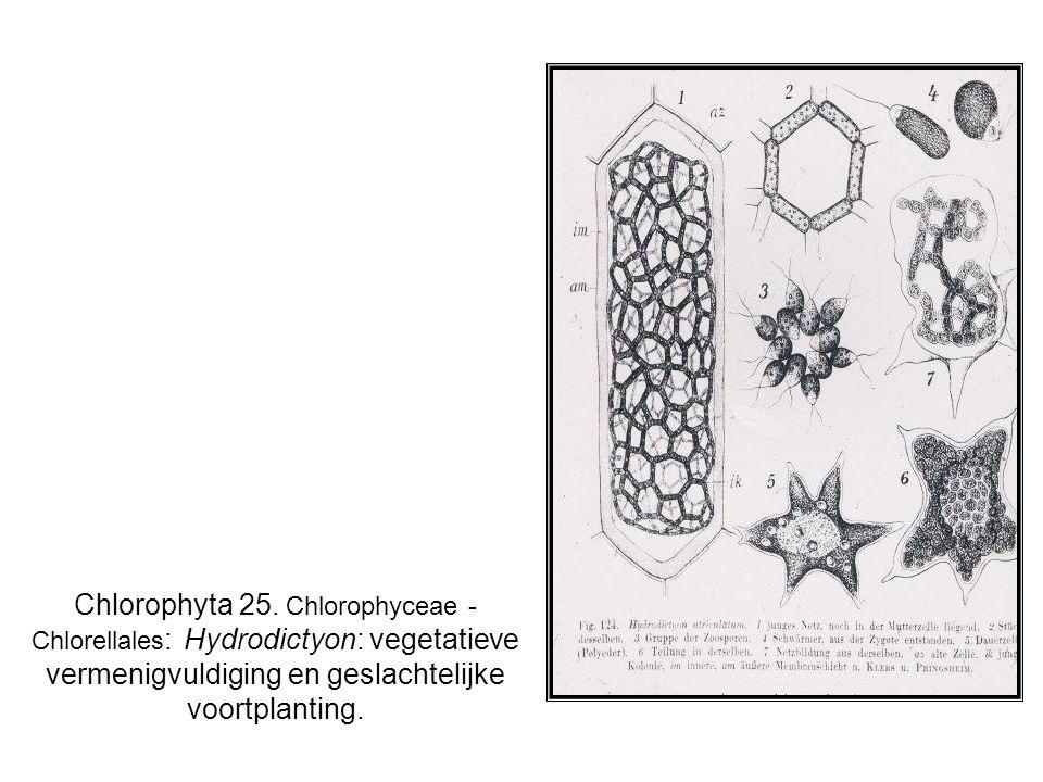 Chlorophyta 25. Chlorophyceae - Chlorellales : Hydrodictyon: vegetatieve vermenigvuldiging en geslachtelijke voortplanting.