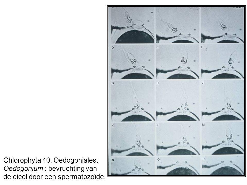 Chlorophyta 40. Oedogoniales: Oedogonium : bevruchting van de eicel door een spermatozoïde.
