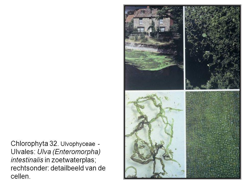 Chlorophyta 32. Ulvophyceae - Ulvales: Ulva (Enteromorpha) intestinalis in zoetwaterplas; rechtsonder: detailbeeld van de cellen.