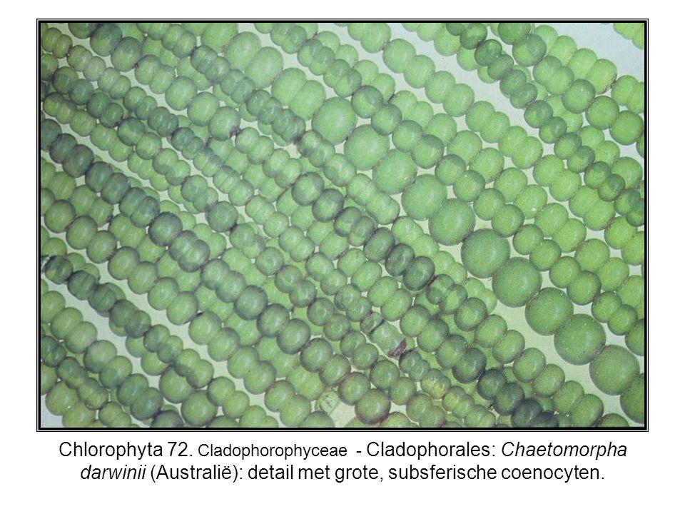 Chlorophyta 72. Cladophorophyceae - Cladophorales: Chaetomorpha darwinii (Australië): detail met grote, subsferische coenocyten.