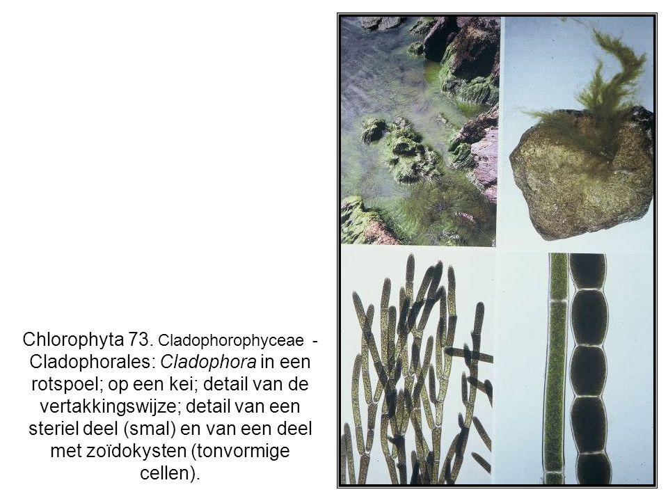 Chlorophyta 73. Cladophorophyceae - Cladophorales: Cladophora in een rotspoel; op een kei; detail van de vertakkingswijze; detail van een steriel deel