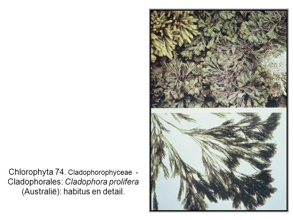 Chlorophyta 74. Cladophorophyceae - Cladophorales: Cladophora prolifera (Australië): habitus en detail.