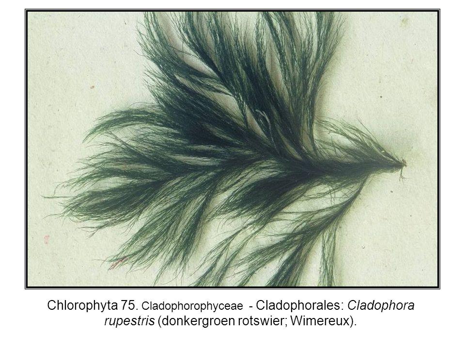Chlorophyta 75. Cladophorophyceae - Cladophorales: Cladophora rupestris (donkergroen rotswier; Wimereux).