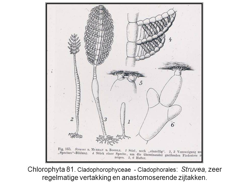 Chlorophyta 81. Cladophorophyceae - Cladophorales : Struvea, zeer regelmatige vertakking en anastomoserende zijtakken.