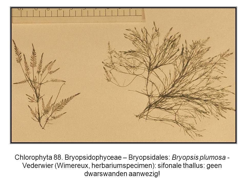 Chlorophyta 88.