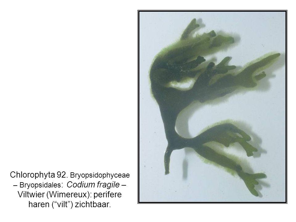 "Chlorophyta 92. Bryopsidophyceae – Bryopsidales : Codium fragile – Viltwier (Wimereux): perifere haren (""vilt"") zichtbaar."