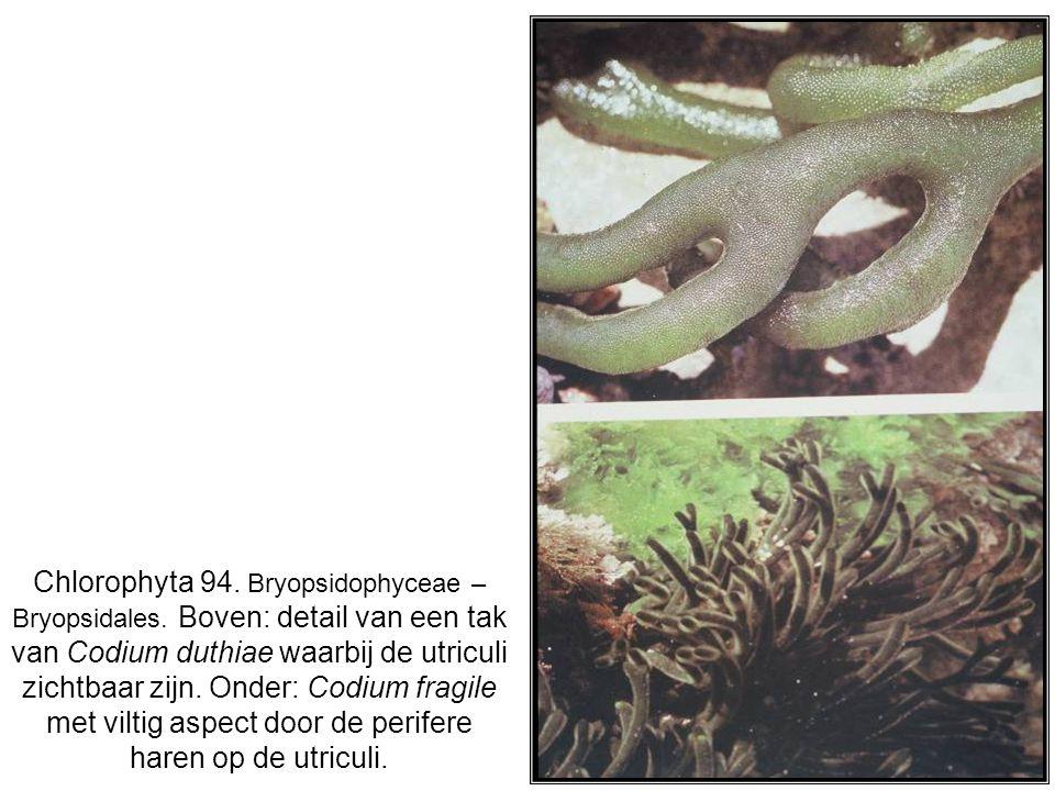Chlorophyta 94. Bryopsidophyceae – Bryopsidales. Boven: detail van een tak van Codium duthiae waarbij de utriculi zichtbaar zijn. Onder: Codium fragil
