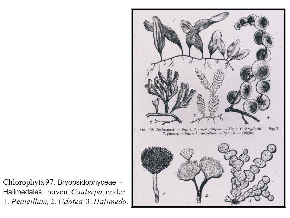 Chlorophyta 97.Bryopsidophyceae – Halimedales : boven: Caulerpa; onder: 1.