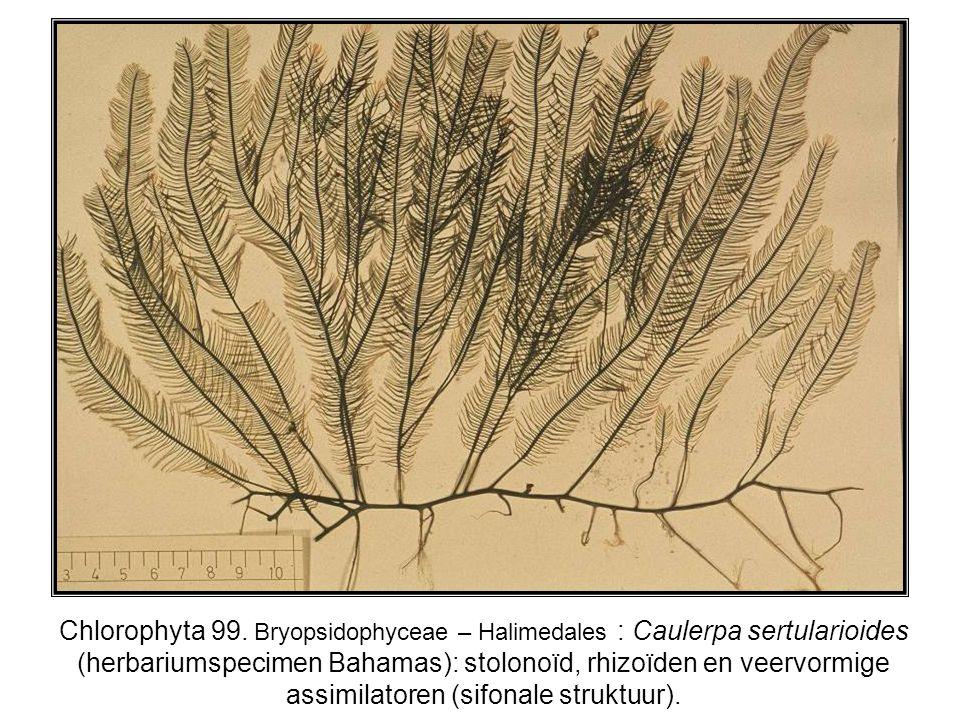 Chlorophyta 99. Bryopsidophyceae – Halimedales : Caulerpa sertularioides (herbariumspecimen Bahamas): stolonoïd, rhizoïden en veervormige assimilatore