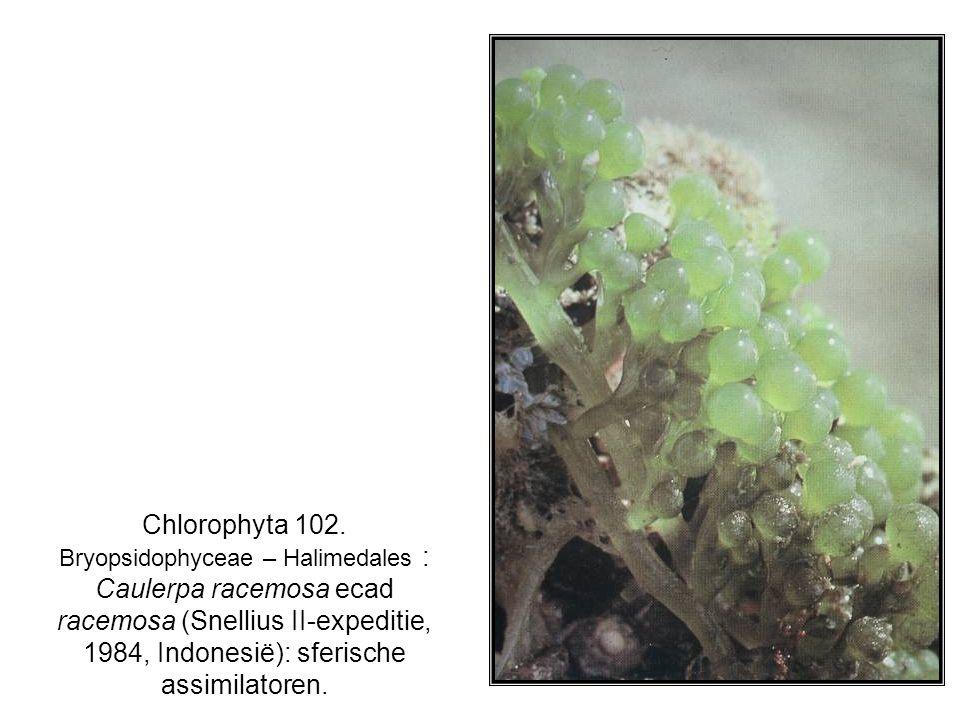 Chlorophyta 102. Bryopsidophyceae – Halimedales : Caulerpa racemosa ecad racemosa (Snellius II-expeditie, 1984, Indonesië): sferische assimilatoren.