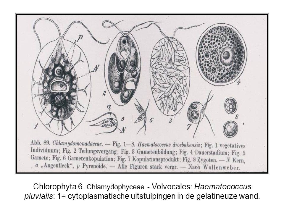 Chlorophyta 6. Chlamydophyceae - Volvocales: Haematococcus pluvialis: 1= cytoplasmatische uitstulpingen in de gelatineuze wand.