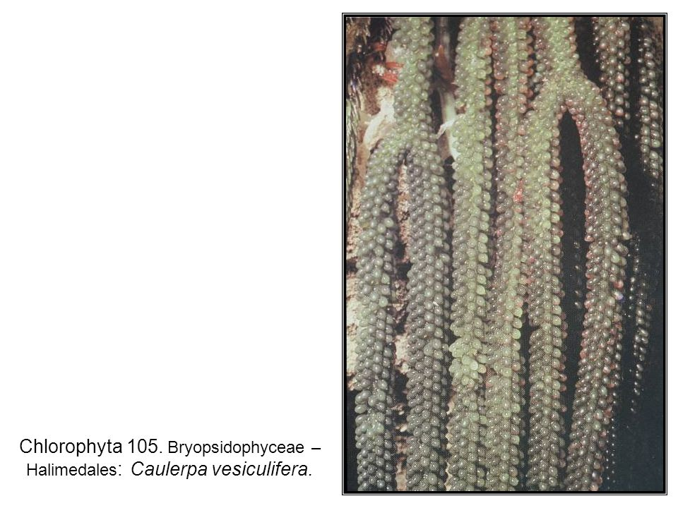 Chlorophyta 105. Bryopsidophyceae – Halimedales : Caulerpa vesiculifera.