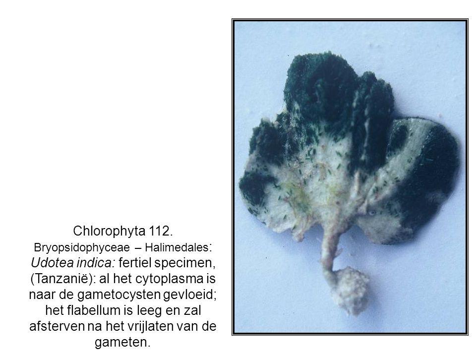 Chlorophyta 112. Bryopsidophyceae – Halimedales : Udotea indica: fertiel specimen, (Tanzanië): al het cytoplasma is naar de gametocysten gevloeid; het