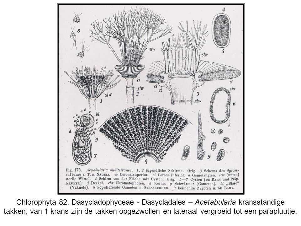 Chlorophyta 82. Dasycladophyceae - Dasycladales – Acetabularia kransstandige takken; van 1 krans zijn de takken opgezwollen en lateraal vergroeid tot