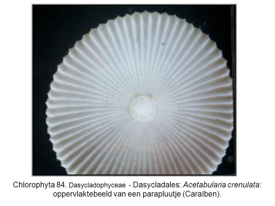 Chlorophyta 84. Dasycladophyceae - Dasycladales: Acetabularia crenulata: oppervlaktebeeld van een parapluutje (Caraïben).