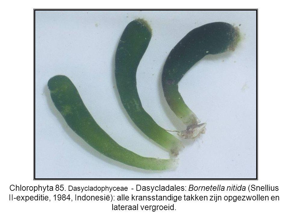 Chlorophyta 85. Dasycladophyceae - Dasycladales: Bornetella nitida (Snellius II-expeditie, 1984, Indonesië): alle kransstandige takken zijn opgezwolle