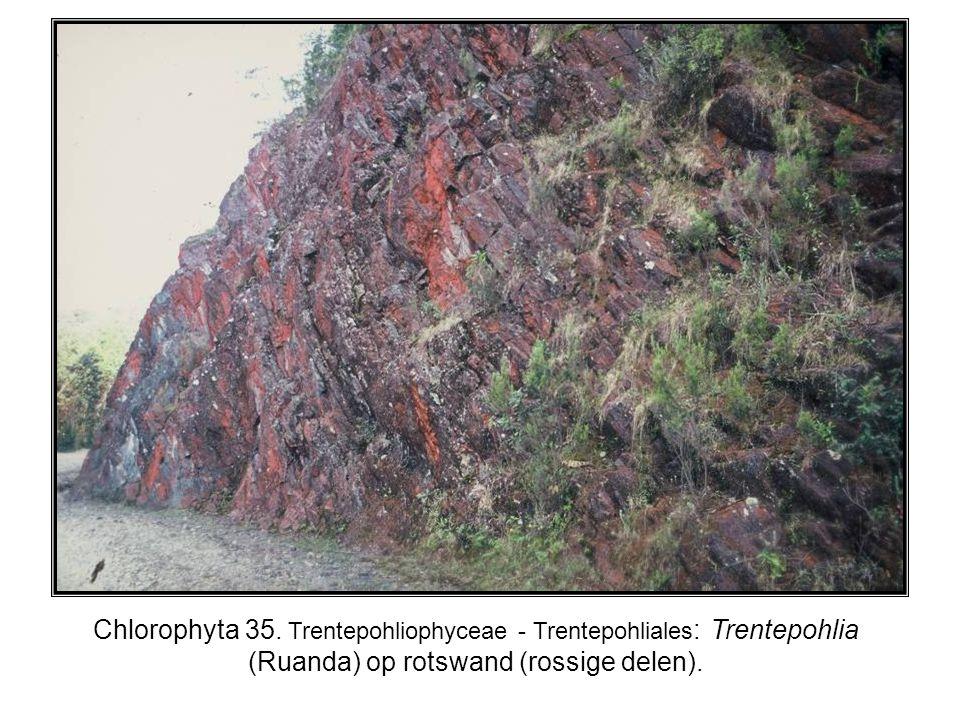 Chlorophyta 35. Trentepohliophyceae - Trentepohliales : Trentepohlia (Ruanda) op rotswand (rossige delen).