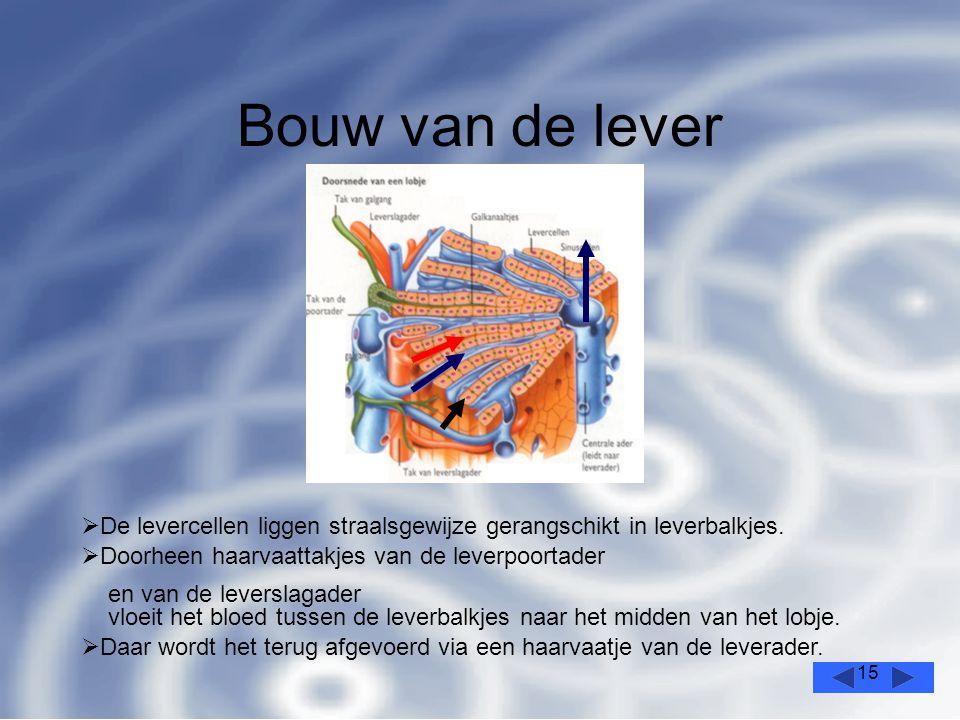 15 Bouw van de lever  De levercellen liggen straalsgewijze gerangschikt in leverbalkjes.