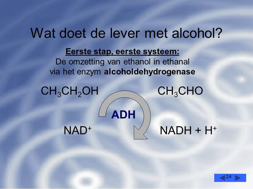 24 Wat doet de lever met alcohol.