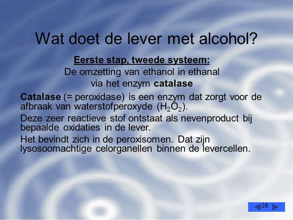 28 Wat doet de lever met alcohol.