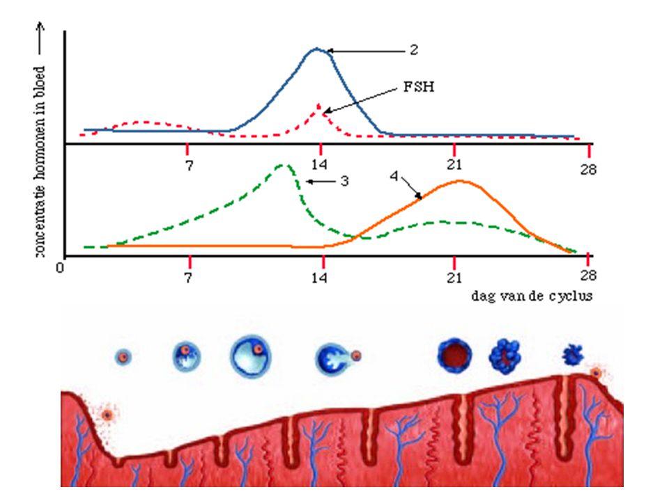 Gevolg delende kiemschijf: Navelstreng Hechtsteel Dooierzak Amnion Amnion holte Chorion Dooierzak/blaasje  vormt eerste bloedcellen Ontstaan van holtes met vocht (vruchtwater) en vruchtvliezen; amnion en chorion