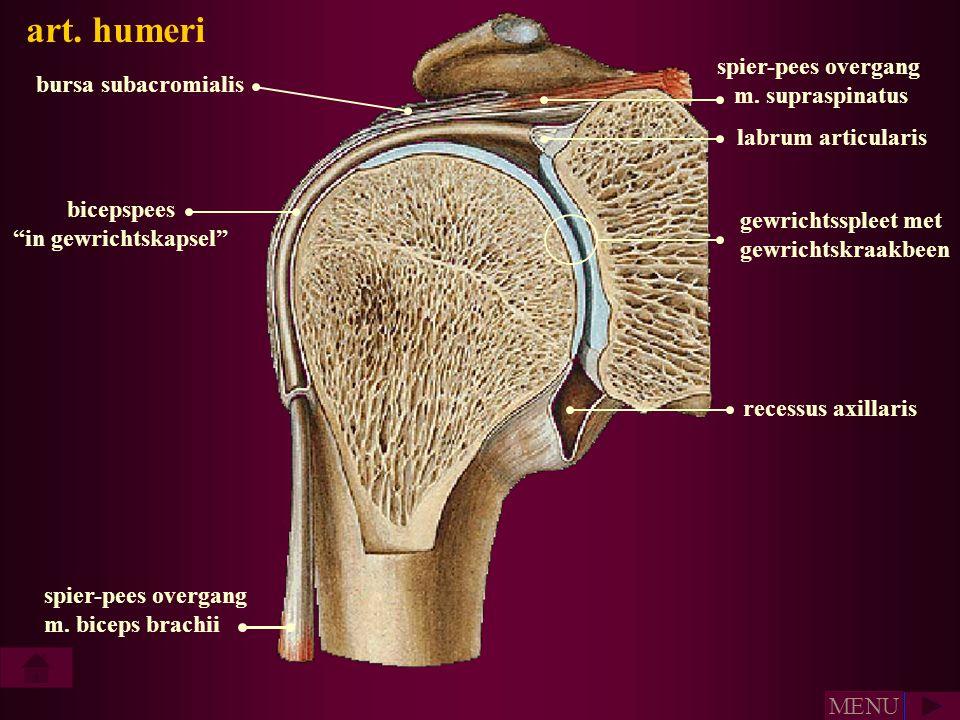 """labrum articularis bicepspees """"in gewrichtskapsel"""" bursa subacromialis spier-pees overgang m. biceps brachii spier-pees overgang m. supraspinatus gewr"""