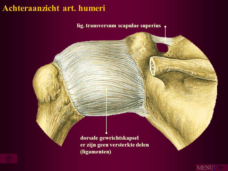 Achteraanzicht art. humeri lig. transversum scapulae superius dorsale gewrichtskapsel er zijn geen versterkte delen (ligamenten) MENU