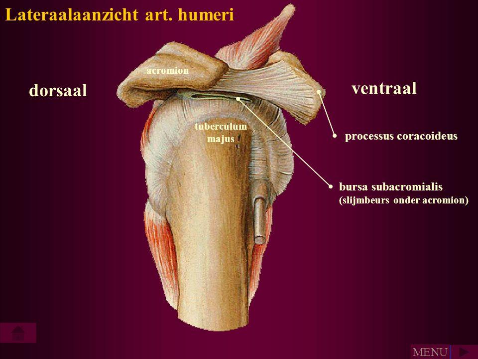 processus coracoideus ventraal dorsaal Lateraalaanzicht art. humeri acromion bursa subacromialis (slijmbeurs onder acromion) tuberculum majus MENU