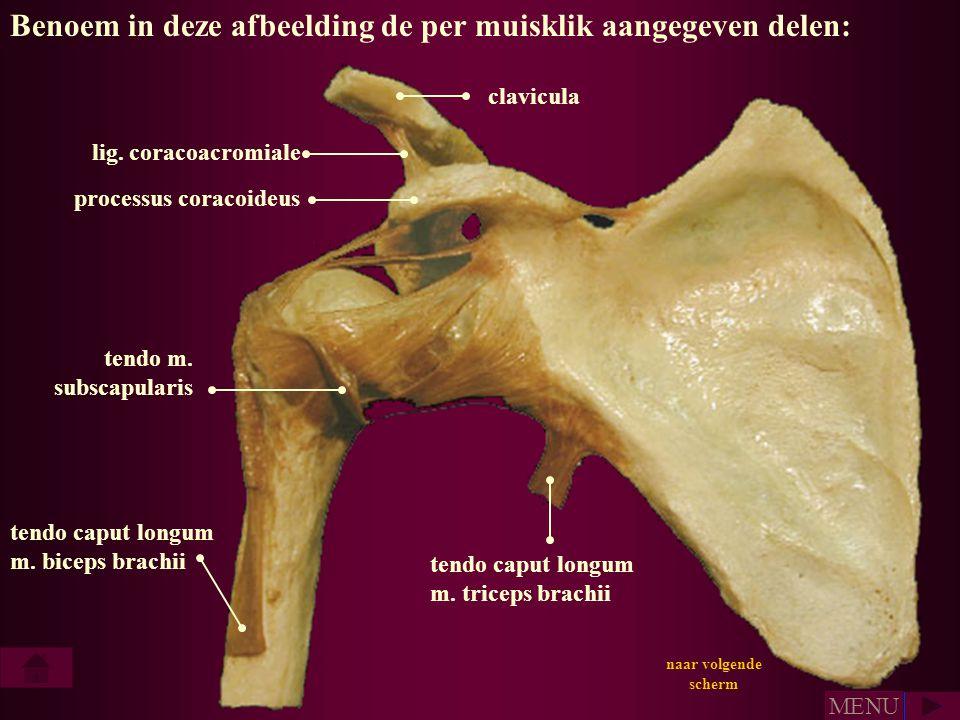 Benoem in deze afbeelding de per muisklik aangegeven delen: tendo caput longum m. biceps brachii tendo caput longum m. triceps brachii tendo m. subsca