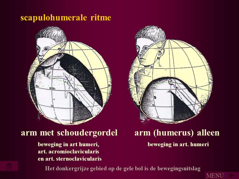 arm met schoudergordelarm (humerus) alleen beweging in art humeri, art. acromioclavicularis en art. sternoclavicularis beweging in art. humeri scapulo