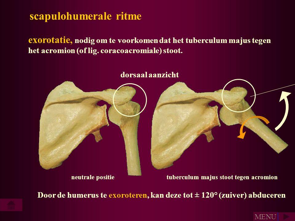 scapulohumerale ritme exorotatie, nodig om te voorkomen dat het tuberculum majus tegen het acromion (of lig. coracoacromiale) stoot. neutrale positiet