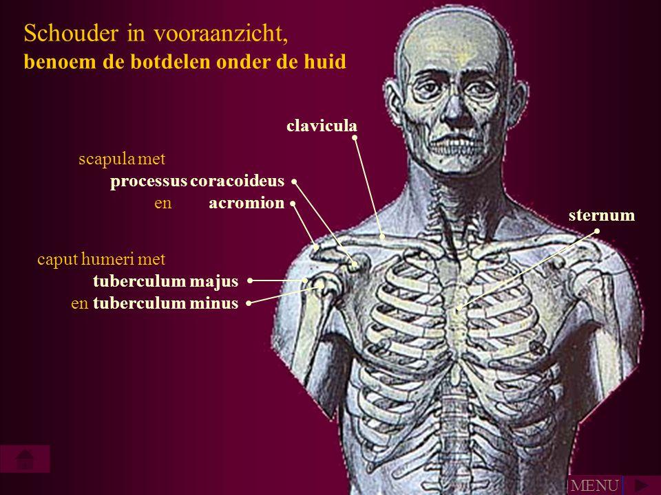 Schouder in vooraanzicht, benoem de botdelen onder de huid clavicula scapula met processus coracoideus en acromion caput humeri met tuberculum majus e