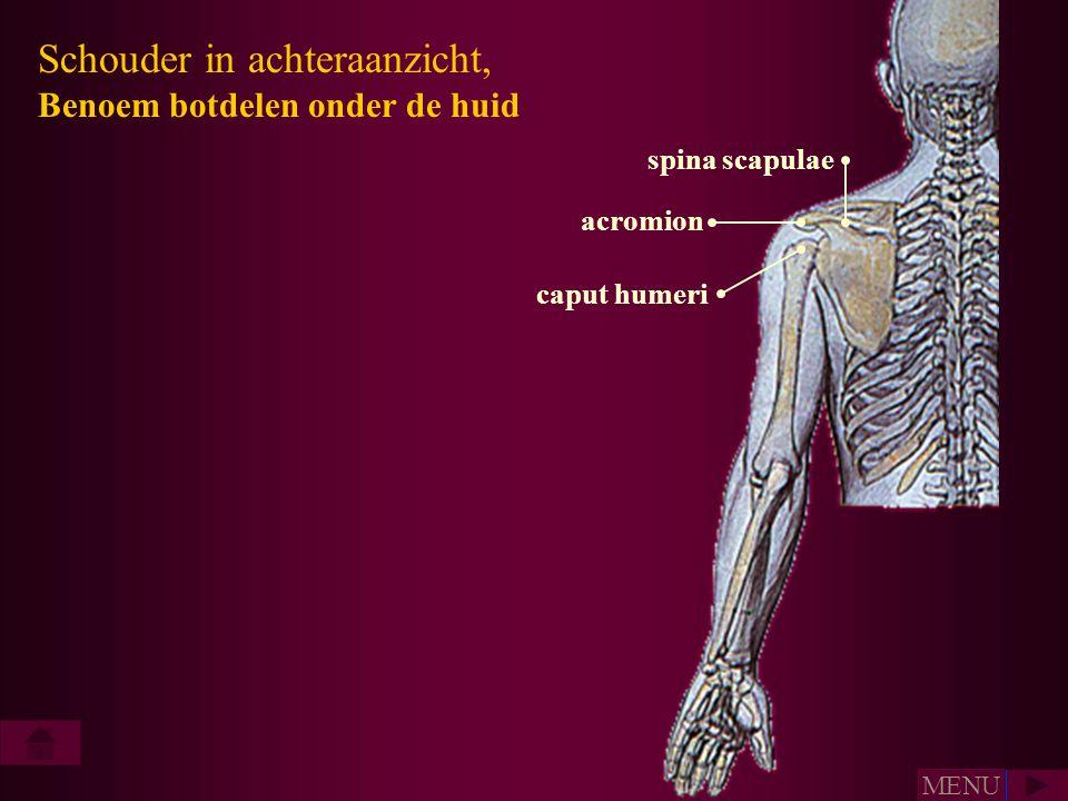 Schouder in achteraanzicht, Benoem botdelen onder de huid spina scapulae acromion caput humeri MENU
