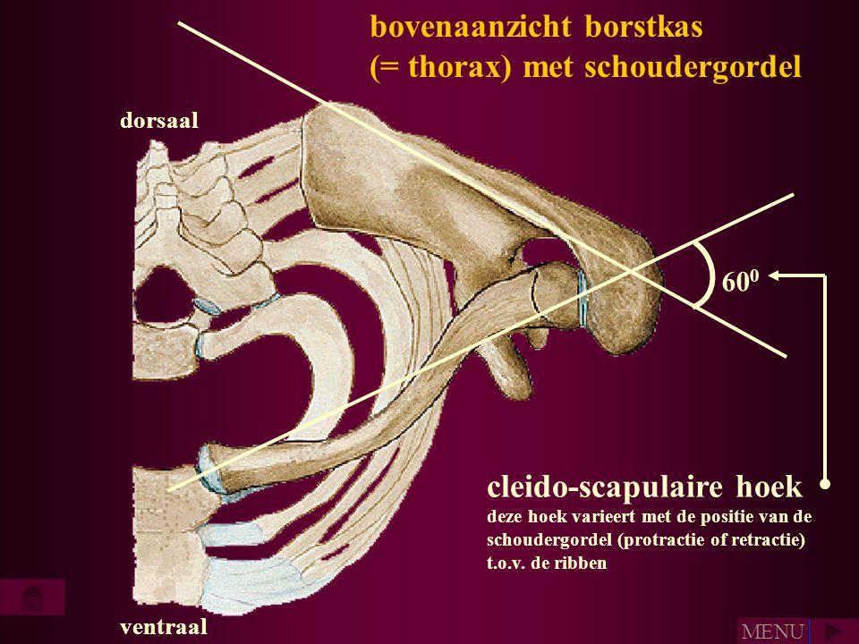 60 0 cleido-scapulaire hoek deze hoek varieert met de positie van de schoudergordel (protractie of retractie) t.o.v. de ribben dorsaal ventraal bovena