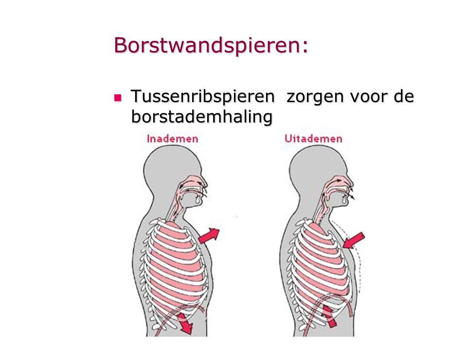 Borstwandspieren:  Tussenribspieren zorgen voor de borstademhaling