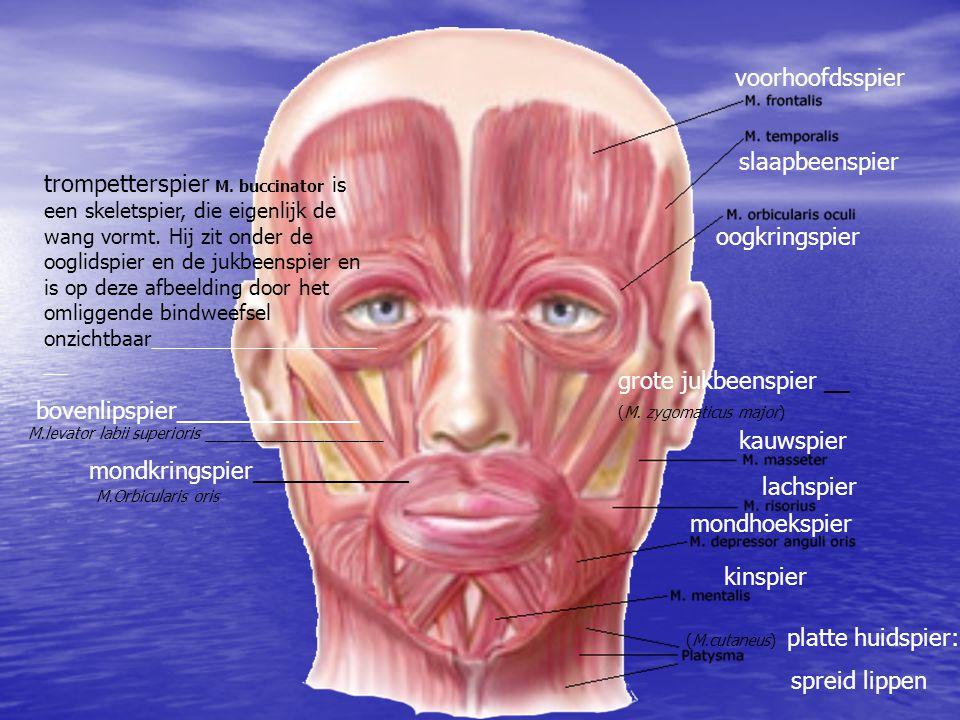 voorhoofdsspier slaapbeenspier oogkringspier kauwspier lachspier mondhoekspier kinspier mondkringspier____________ (M.cutaneus) platte huidspier: spre