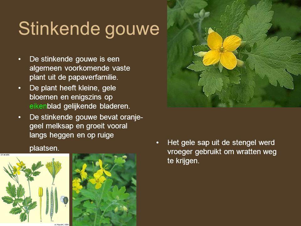 Stinkende gouwe •De stinkende gouwe is een algemeen voorkomende vaste plant uit de papaverfamilie. •De plant heeft kleine, gele bloemen en enigszins o