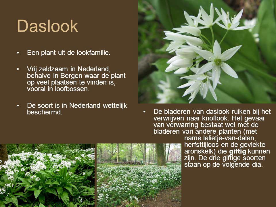 Daslook •Een plant uit de lookfamilie. •Vrij zeldzaam in Nederland, behalve in Bergen waar de plant op veel plaatsen te vinden is, vooral in loofbosse