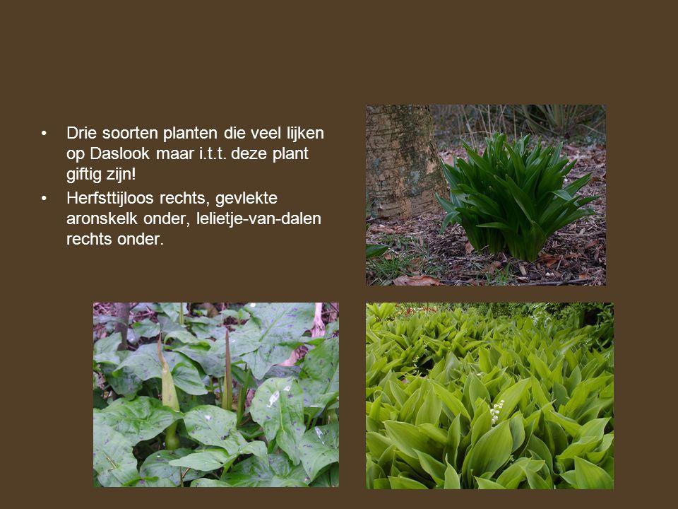 •Drie soorten planten die veel lijken op Daslook maar i.t.t. deze plant giftig zijn! •Herfsttijloos rechts, gevlekte aronskelk onder, lelietje-van-dal