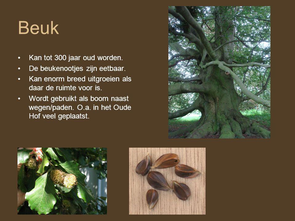 Beuk •Kan tot 300 jaar oud worden. •De beukenootjes zijn eetbaar. •Kan enorm breed uitgroeien als daar de ruimte voor is. •Wordt gebruikt als boom naa