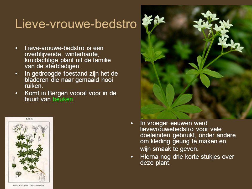 Lieve-vrouwe-bedstro •Lieve-vrouwe-bedstro is een overblijvende, winterharde, kruidachtige plant uit de familie van de sterbladigen. •In gedroogde toe