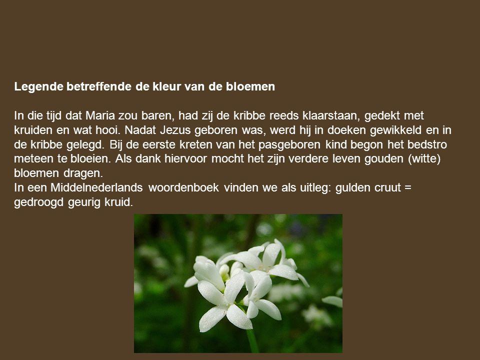 Legende betreffende de kleur van de bloemen In die tijd dat Maria zou baren, had zij de kribbe reeds klaarstaan, gedekt met kruiden en wat hooi. Nadat