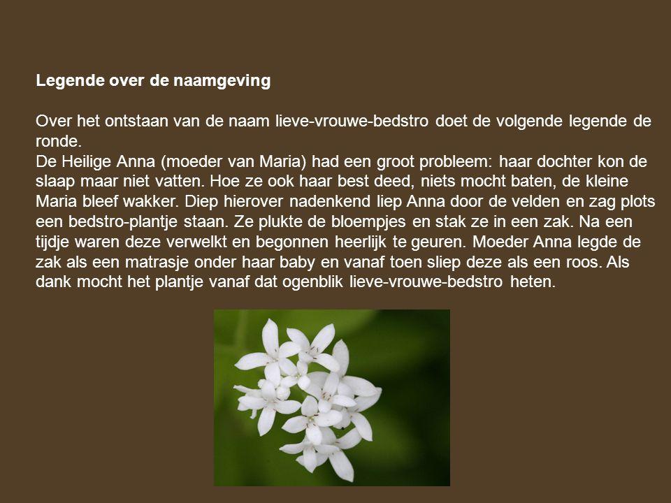 Legende over de naamgeving Over het ontstaan van de naam lieve-vrouwe-bedstro doet de volgende legende de ronde. De Heilige Anna (moeder van Maria) ha