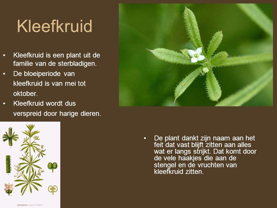 Kleefkruid •Kleefkruid is een plant uit de familie van de sterbladigen. •De bloeiperiode van kleefkruid is van mei tot oktober. •Kleefkruid wordt dus