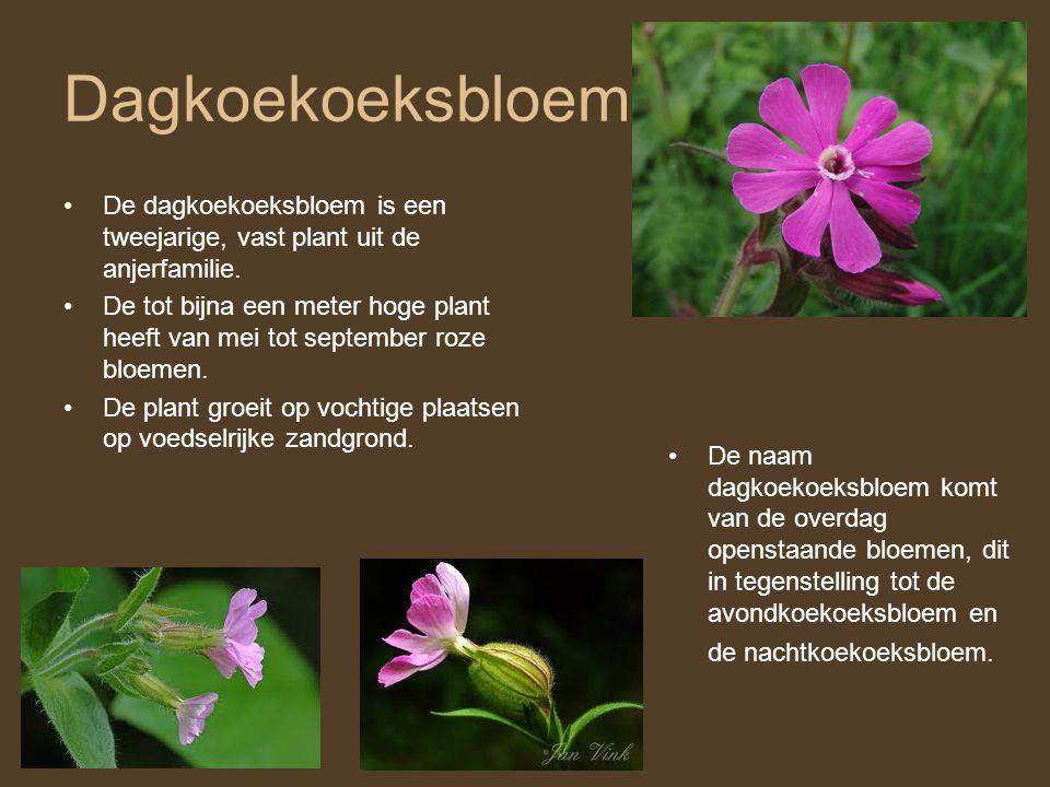 Dagkoekoeksbloem •De dagkoekoeksbloem is een tweejarige, vast plant uit de anjerfamilie. •De tot bijna een meter hoge plant heeft van mei tot septembe